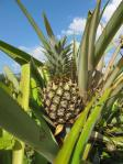 Mmmm, tropical fruit that travels less than a kilometre from field to plate, and that by bicycle!